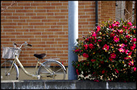 Cream bicycle, red flowers