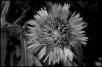 Purple sunburst bw