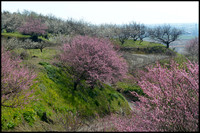 Ume trees on hillside