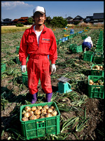 Onion packer, Kshima, Saga