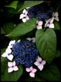 blue and pink hydrangeas