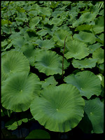 Lotus leaves E410 RD
