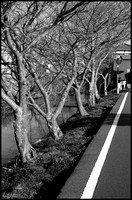 Trees along canal B&W