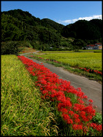 Spider lilies, rice and road