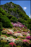 Azaleas close-up, and mountain