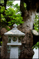 Lantern and old camphor laurel
