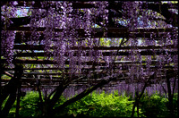 Wysteria blooms