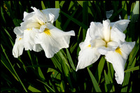 Yellow throated white iris pair