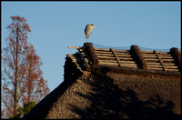 Heron on roof