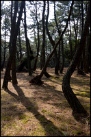 Pine forest 3
