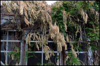 Dying wisteria