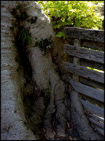 Tree roots and fence